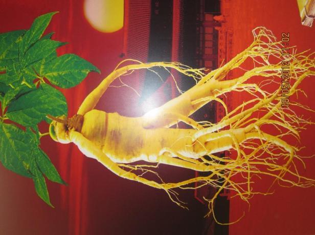 Tumbuhan Ginseng yang diakui sangat berkhasiat. Sumber foto: Dokumen pribadi